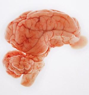 Cérebro de porco