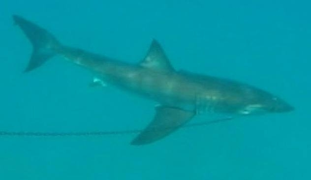Tubarão na praia