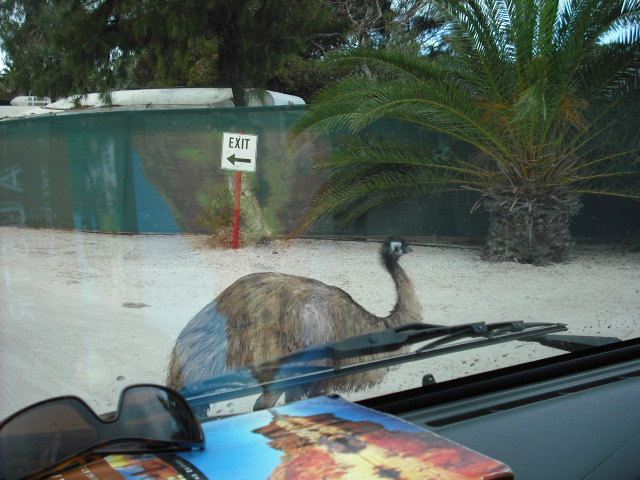 Emu na estrada