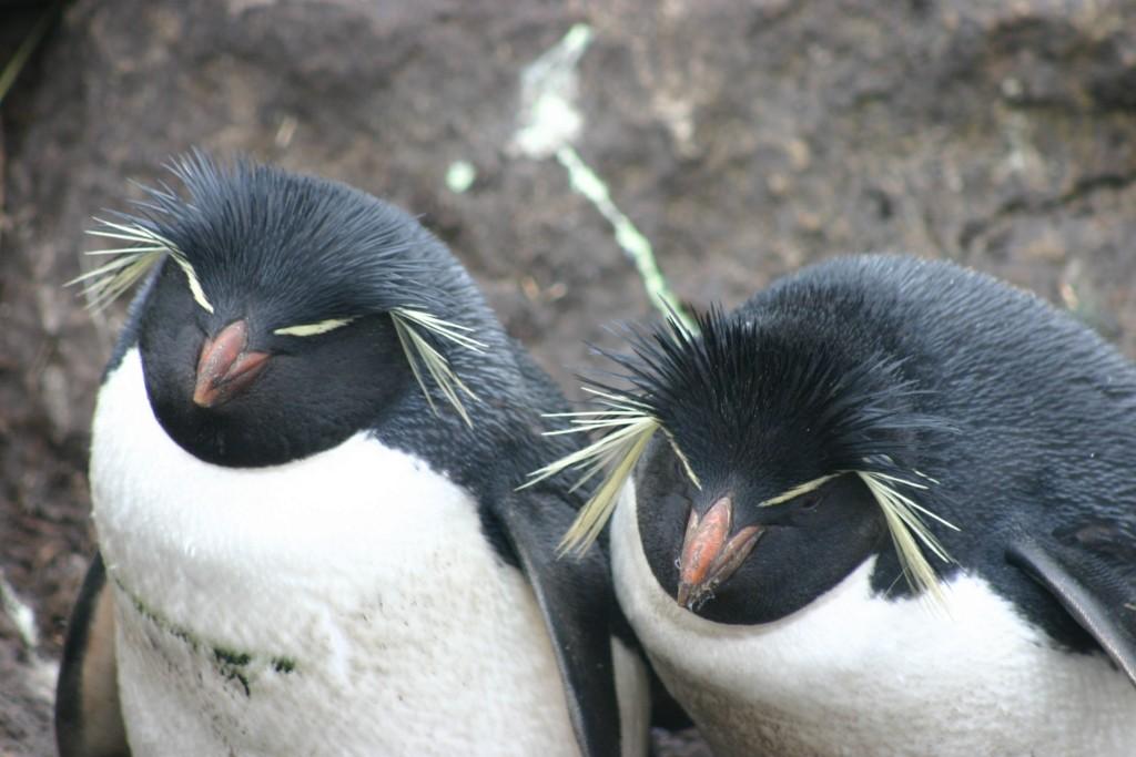 Pinguins da espécie rockhooper, espécie mais comum do arquipélago