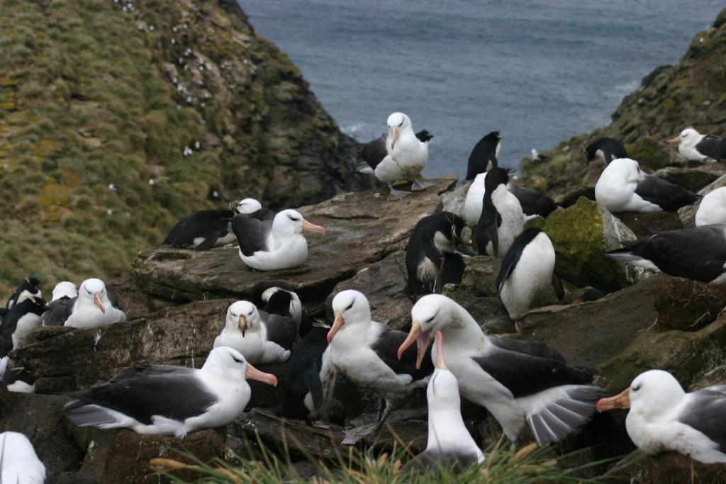 Albatrozes e pinguins vivem em harmonia nas Malvinas
