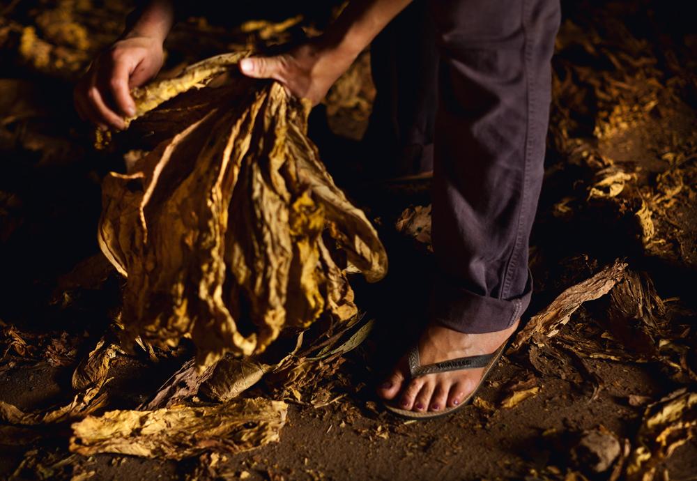 detalhe de folha seca de fumo