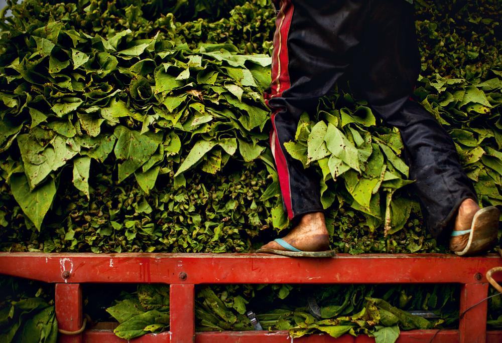 a falta de proteção nas mãos e nos pés durante a colheita