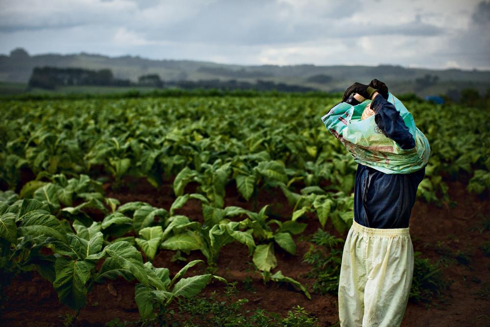 a colheita de fumo em Palmeira (PR)