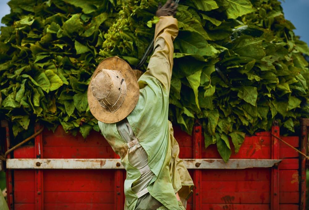 Agricultor carrega caminhão de fumo