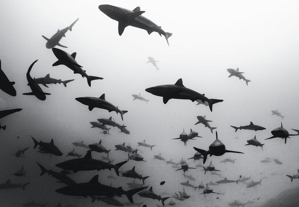 Uma das célebres fotos de tubarão de Jacques Marcelo com a carabina procurando por javalis, no Havaí