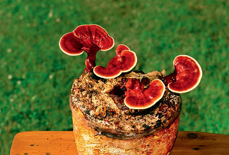 Cogumelos Reishi da cria de Paul, poderosos aliados em tratamentos de infecções