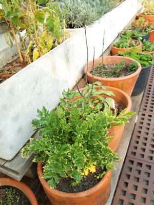 Plantação - Vista da horta, com vasos de salsão, gervão, menta, salsinha crespa, coentro, azedinha, tomate, boldo, sálvia, tomilho, alfazema etc.
