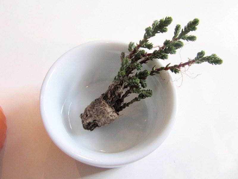 A mini-suculenta