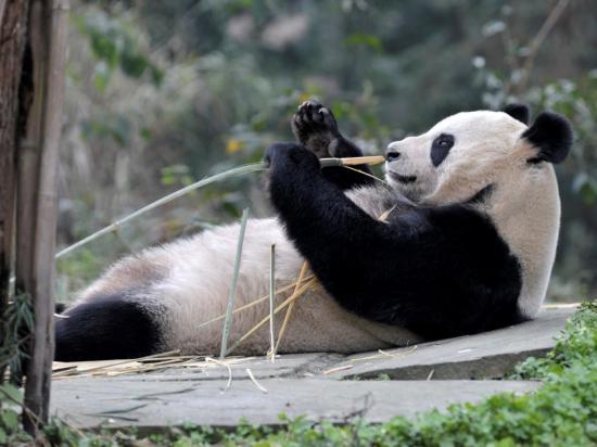 Carta à Panda que fingiu estar grávida para melhorar de vida