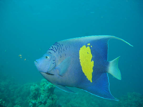 Peixe exótico no Mar Vermelho