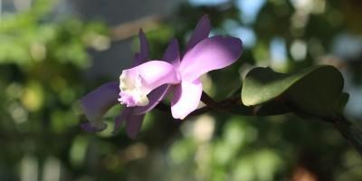 Orquídeas marginais