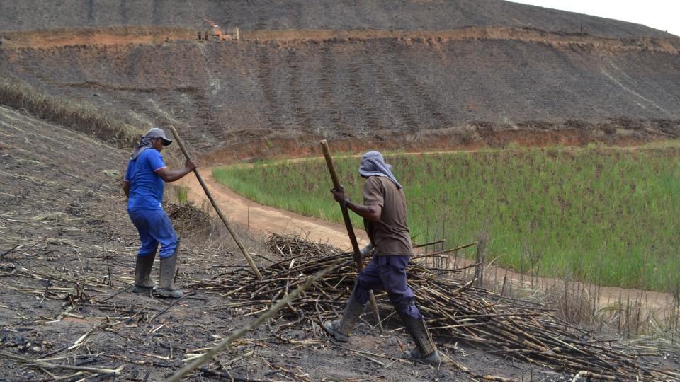 Terreno íngrime de corte de cana em Alagoas; sobe e desce fustigam ainda mais o corpo do trabalhador manual