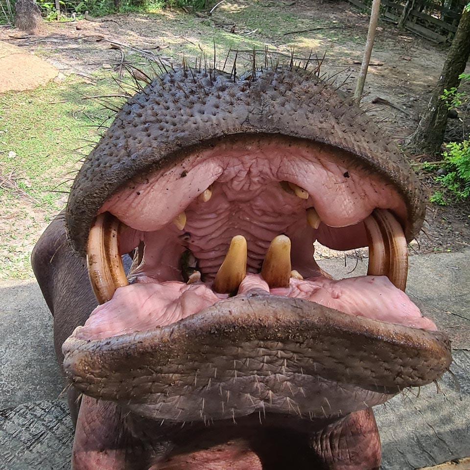 """Os """"hipopótamos de Escobar"""", como ficaram conhecidos os mais de 40 animais que vivem na região, são a maior manada da espécie vivendo em liberdade fora da África"""